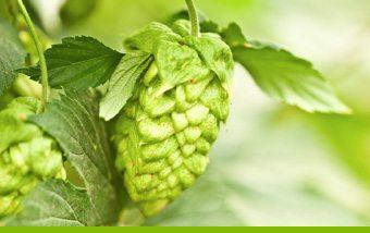 Life of a Hop - Cone Maturation