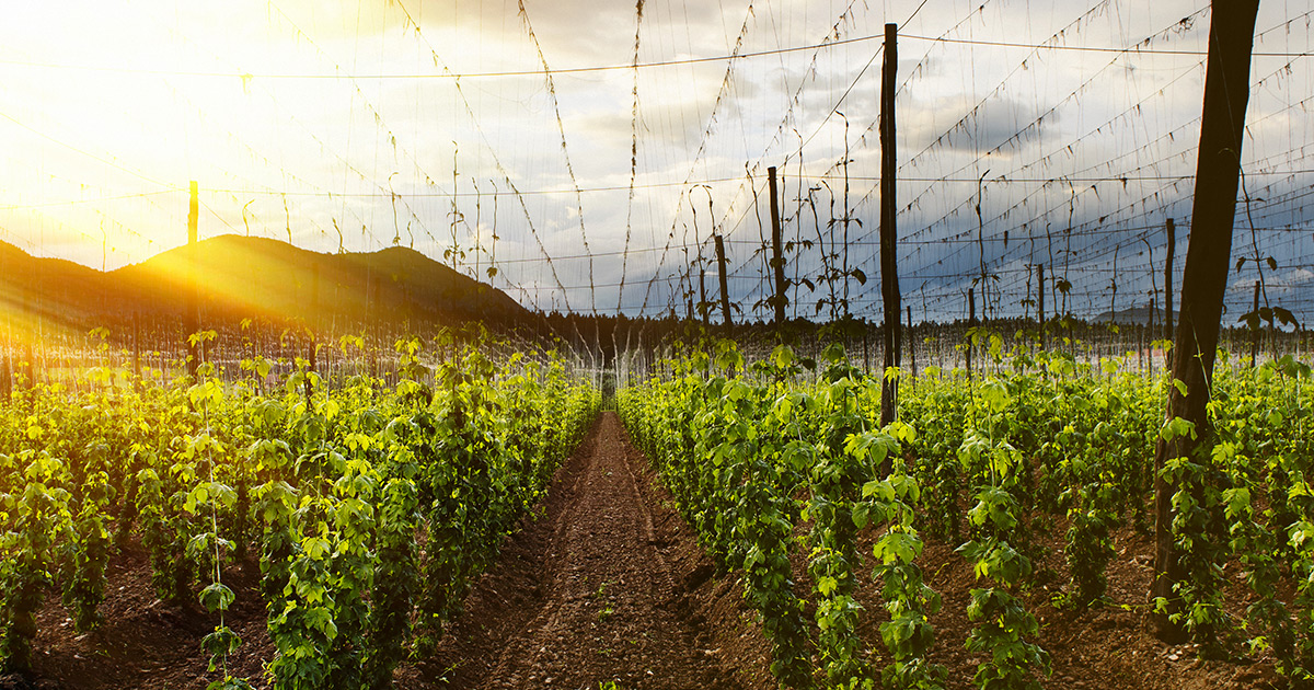 Hopsteiner Has Brewed Up Seven New Hop Varieties