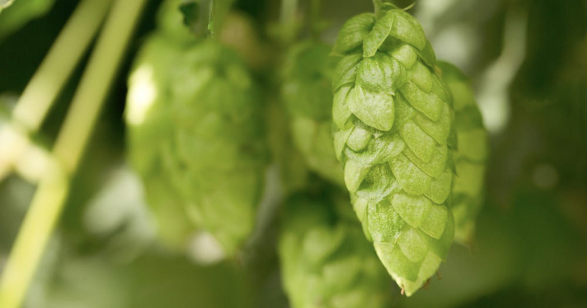 The Colorado Brewers Guild Experiments with New Hopsteiner Hops for Symposium Ale